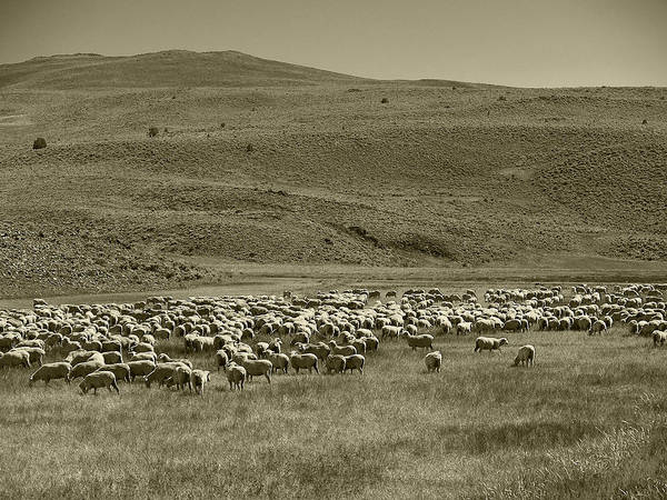 Landscape Art Print featuring the photograph A Flock Of Sheep 4 by Philip Tolok