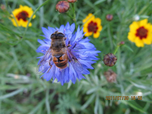 Bees Art Print featuring the photograph Afternoon Feeding by Tina M Wenger