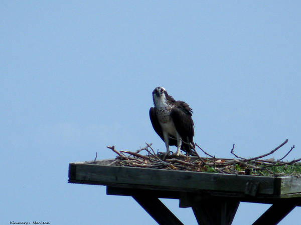 an Osprey In Maryland Art Print featuring the photograph An Osprey In Maryland by Kimmary MacLean