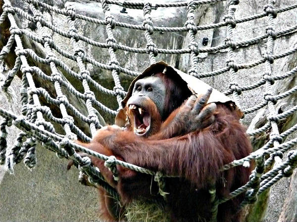 Orangutan Art Print featuring the photograph Bad Day At Work by Jo Sheehan