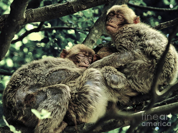 Barbary Ape Art Print featuring the photograph Barbary Apes Macaques Babies Budddies Gang by Anja Freak