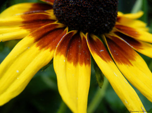 Black Art Print featuring the photograph Black Eyed Susan by Kimmary MacLean