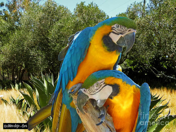Blue And Gold Macaws Art Print featuring the photograph Blue And Gold Macaws by Methune Hively