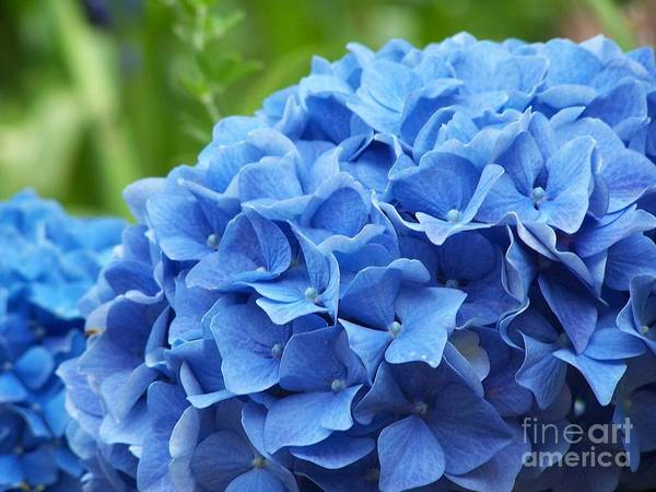 Hydrangea Art Print featuring the photograph Blue Madeira Hydrangea by Patricia Land