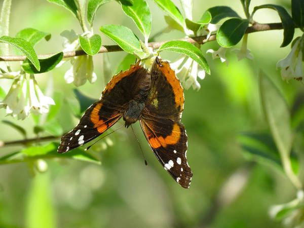 Butterfly Art Print featuring the photograph Butterfly Buds by Azthet Photography