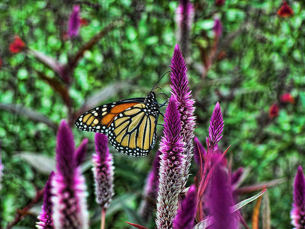 Monarch Art Print featuring the photograph Butterfly On Flower by Ron Hall