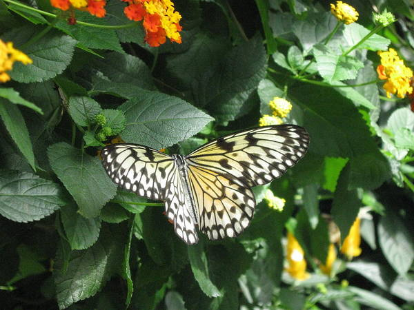 Butterfly Art Print featuring the photograph Butterfly by Rebecca Blain