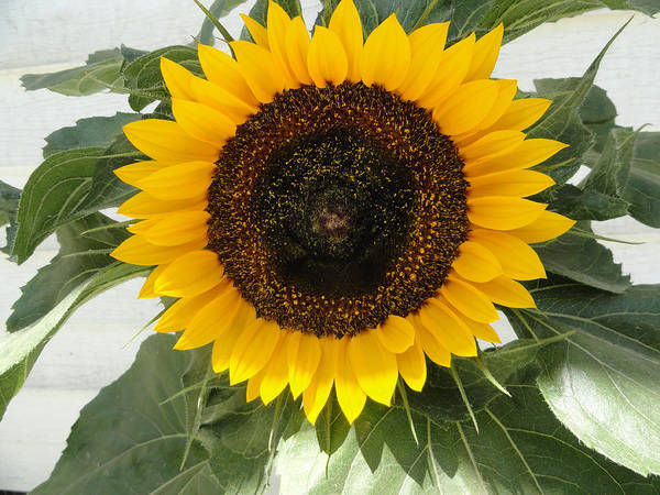 Sunflower Art Print featuring the photograph Center by Shannon Grissom