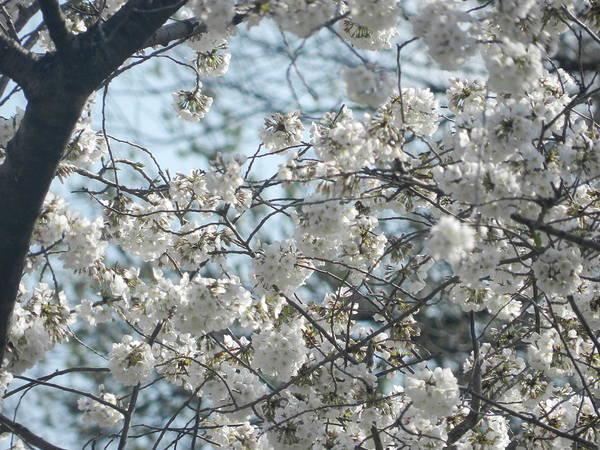 Cherry Blossom Festival Art Print featuring the photograph Cherry Blossom Festival by Genevieve Keillor