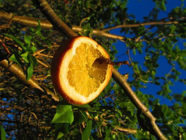 Orange Art Print featuring the photograph Citrus In The Tree by Kaleb Scharfenberg