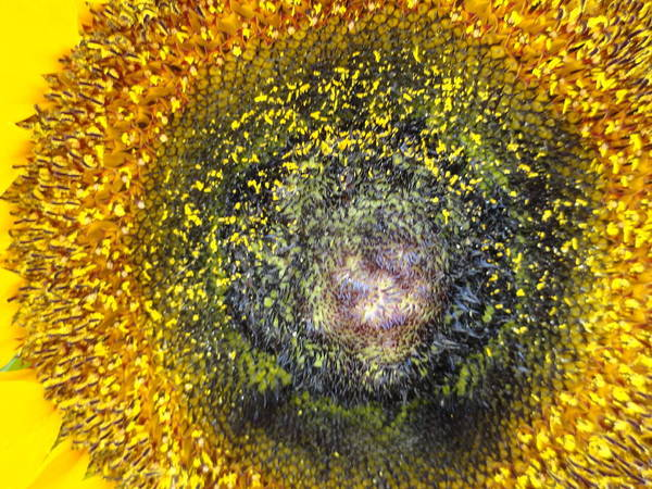 Sunflower Art Print featuring the photograph Cosmic by Shannon Grissom