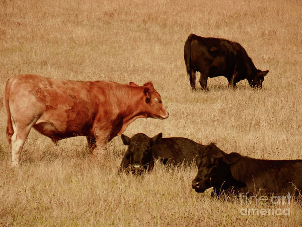 Cows Art Print featuring the photograph Cows by Methune Hively