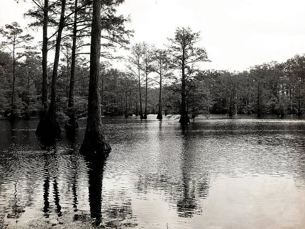 Cypress Print featuring the photograph Cypress Trees In Louisiana by Ester Rogers