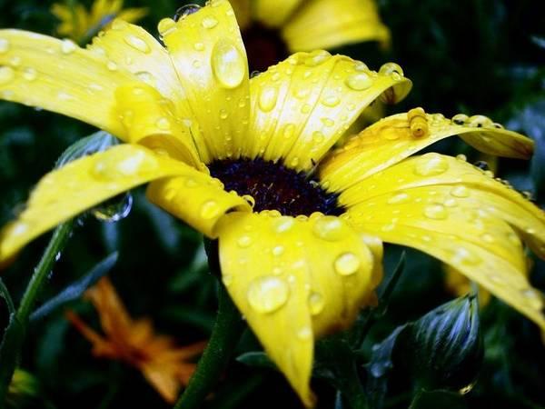 Daisy Flower Yellow Rain Drops Close Up Detailed European Plant Art Print featuring the photograph Daisy by Katarina Potomova