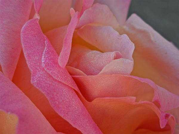 Flowers Art Print featuring the photograph December Rose by Diana Hatcher