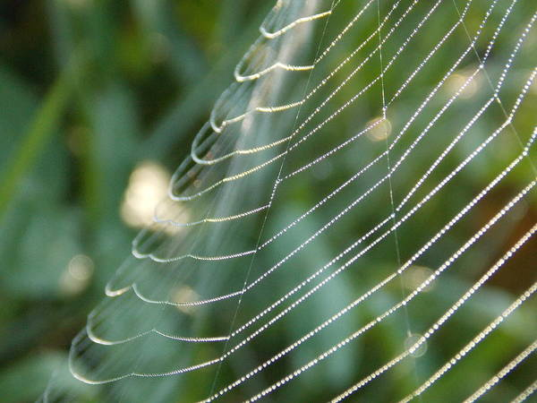 Dew Art Print featuring the photograph Dew Drop Web by Amanda Todaro