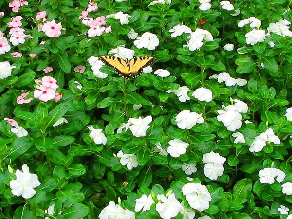 Butterfly Art Print featuring the photograph Eastern Tiger Swallowtail by April Patterson