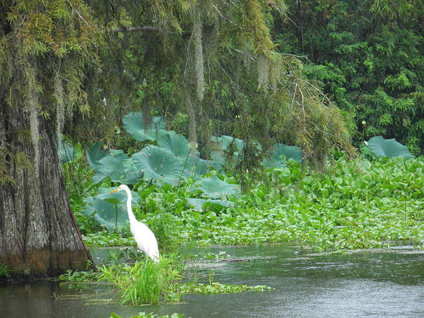 Alligator Art Print featuring the photograph Egret Under The Cypress Umbrella by Larry Eddy