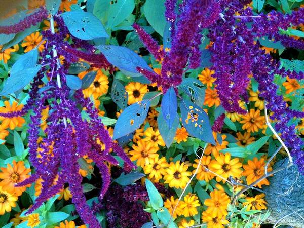 Brookside Gardens Art Print featuring the photograph Egyptian Starcluster Love-in A Puff by Mpagijk Mpagijk
