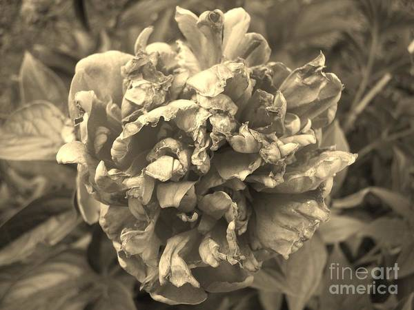 Fading Art Print featuring the digital art Fading Rose by Sharissa King
