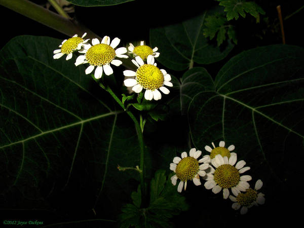 Herb Art Print featuring the photograph Feverfew In Bloom by Joyce Dickens