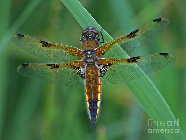 Four Art Print featuring the photograph Four-spotted Chaser Dragonfly 5 by Ruth Hallam