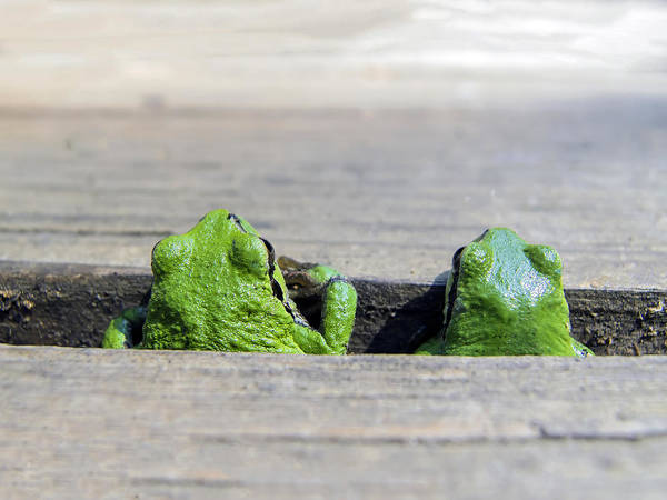 Tree Frog Art Print featuring the photograph Friends by Derek Holzapfel
