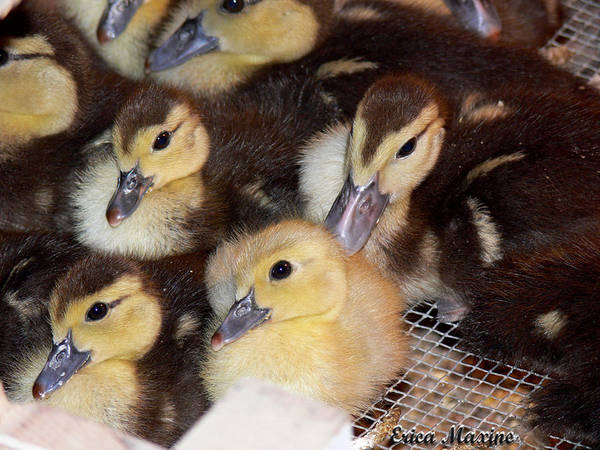 Ducks Art Print featuring the photograph Fuzzy Ducklings by Ericamaxine Price