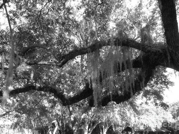 Oak Art Print featuring the photograph Hand Of The Mossy Oak by Maria Bonnier-Perez