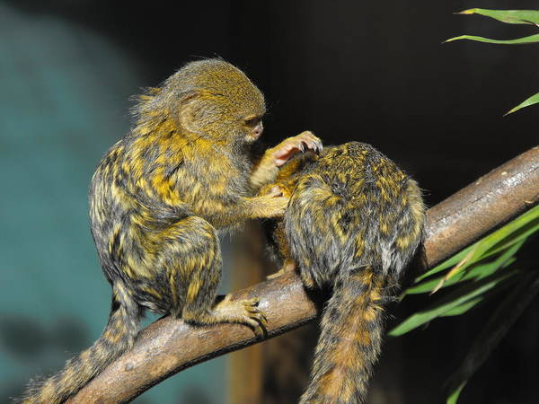 Pygmy Marmoset Art Print featuring the photograph Helping Hand by Marlene Challis
