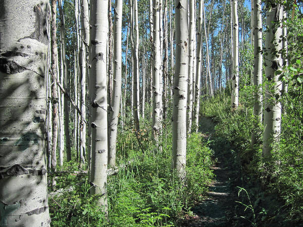 Colorado Art Print featuring the photograph Hiking Through Aspens At Beaver Creek by James Woody