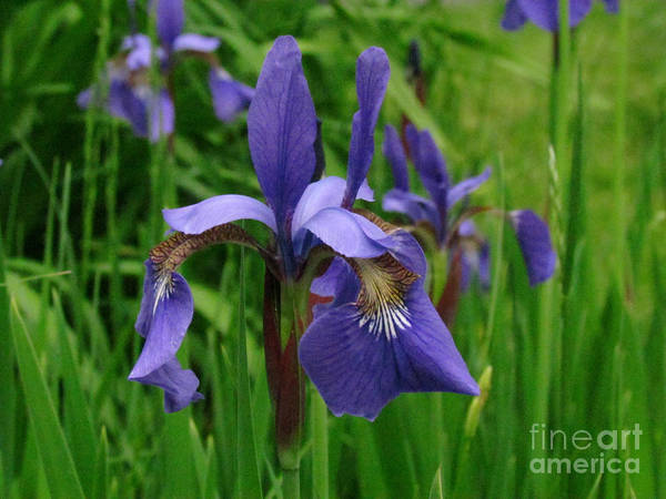 Iris Art Print featuring the photograph Irises by Randi Shenkman