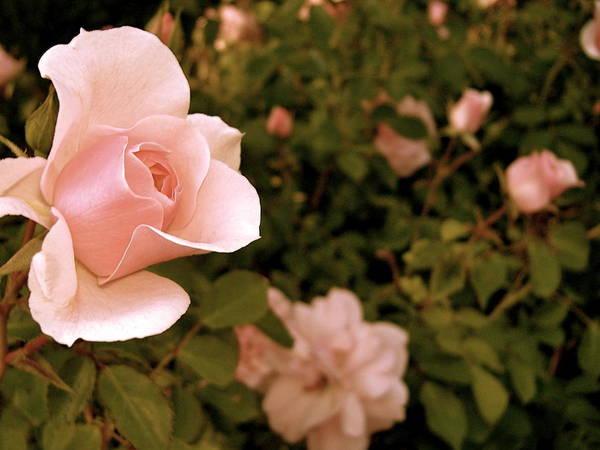 Rose Art Print featuring the photograph La Vie En Rose by Leah Zipkin