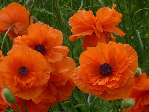 Flowers Art Print featuring the photograph Lacy Poppies by Jeanette Oberholtzer