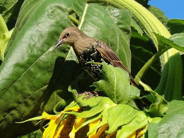 Sunflower Starling Bird Birds Maine Art Print featuring the photograph Ladybird Starling On A Sunflower by Katie Bauer