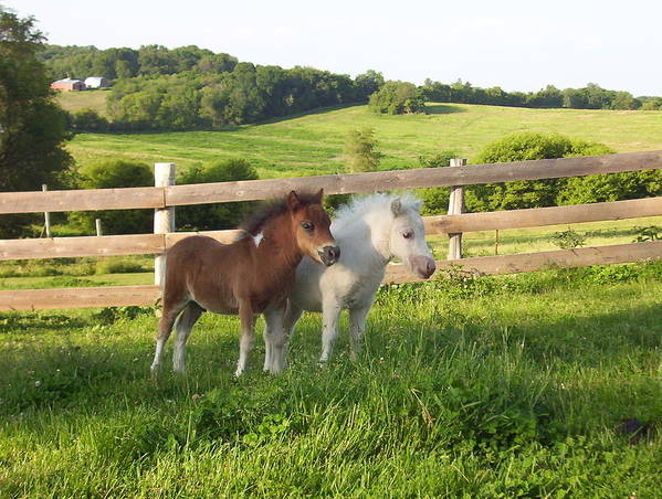 Horses Art Print featuring the photograph Little Horses At Pasture by Elizabeth MacKinney