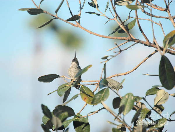 Anna's Hummingbird Art Print featuring the photograph Look Up And Watching by Susan Stevens Crosby