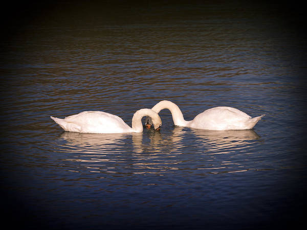 Mute Swan Art Print featuring the photograph Loving Swans by Derek Holzapfel