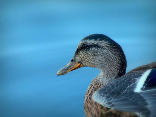 Cindy Print featuring the photograph Mallard Hen Closeup by Cindy Wright