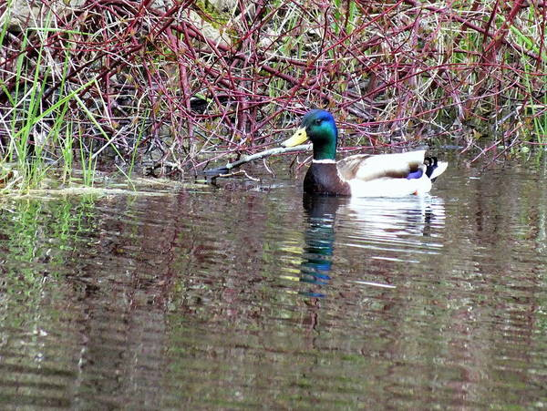 Duck Art Print featuring the photograph Mallard On A Pond by Don Downer
