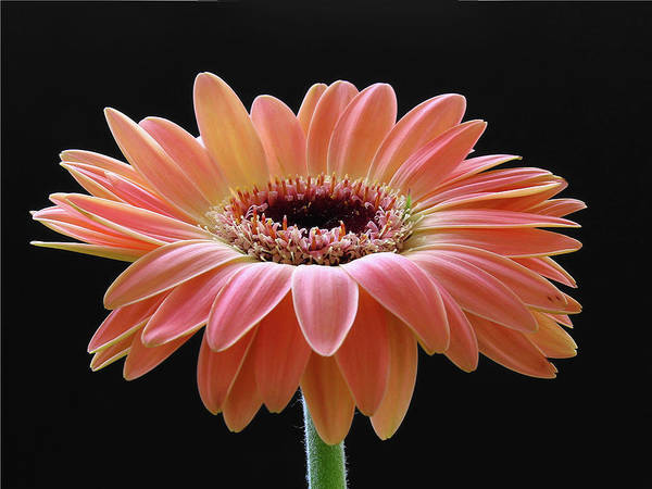 Gerber Daisy Art Print featuring the photograph Meet Me In The Morning by Juergen Roth