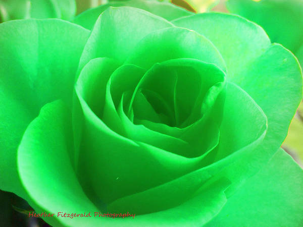 Mint Art Print featuring the photograph Mint Rose by Heather Fitzgerald