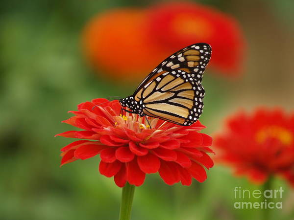 Art Print featuring the digital art Monarch And Red Zinnia by Denise Dempsey Kane
