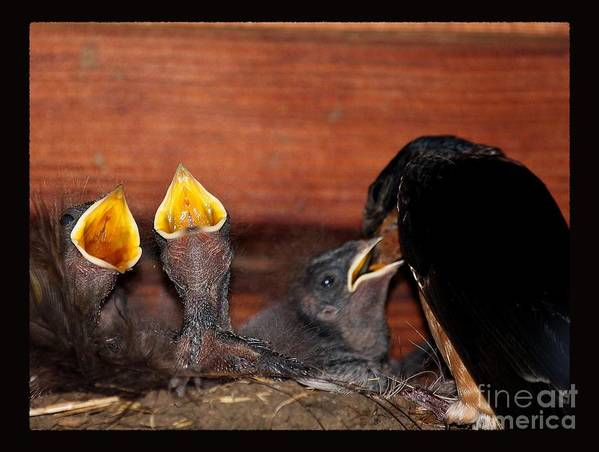 Barn Swallow Art Print featuring the photograph Mothers Love by Erica Hanel
