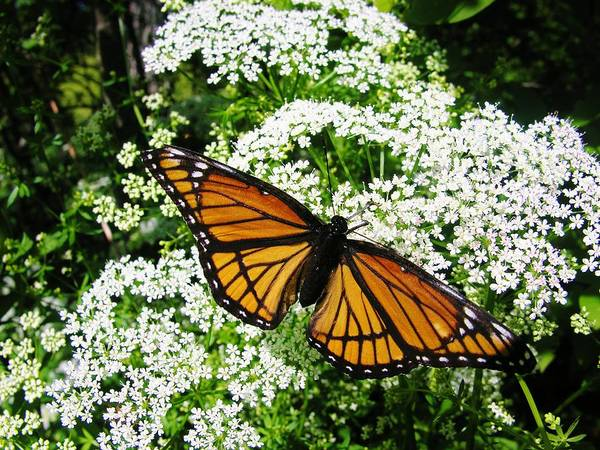 Butterfly Art Print featuring the photograph Natures Beauty by Sherman Perry