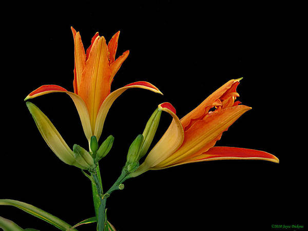 Lily Art Print featuring the photograph Orange Lily On Black by Joyce Dickens