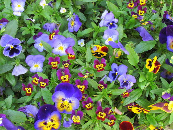 Cirq La Popie Art Print featuring the photograph Pansies by David Rich