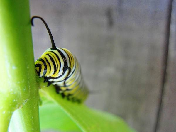 Stranger Monarch Caterpilla Maine Art Print featuring the photograph Peering Into A Stranger's Face by Katie Bauer