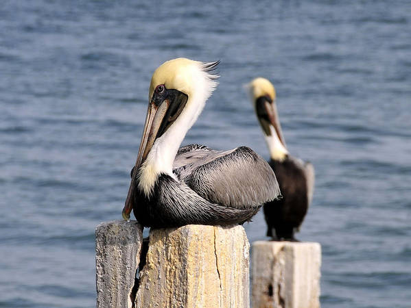 Wildlife Photography Art Print featuring the photograph Pelican Pair by David Lee Thompson