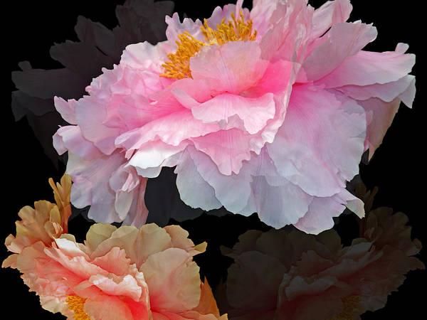 Beauty Art Print featuring the photograph Peony Fantasy by Lynda Lehmann